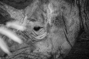 Rhino in Still
